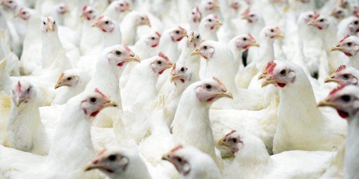 Hướng dẫn chăn nuôi gà thịt công nghiệp trong giai đoạn đầu