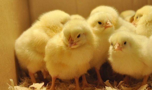 Làm thế nào để nuôi gà con phát triển theo thiên hướng siêu thịt?