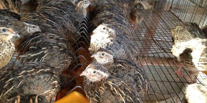 Người dân thu hàng trăm triệu đồng với mô hình nuôi chim cút khép kín
